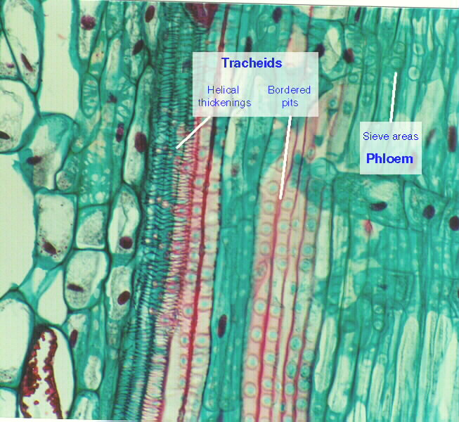 Xylem and phloem tissues in pine.
