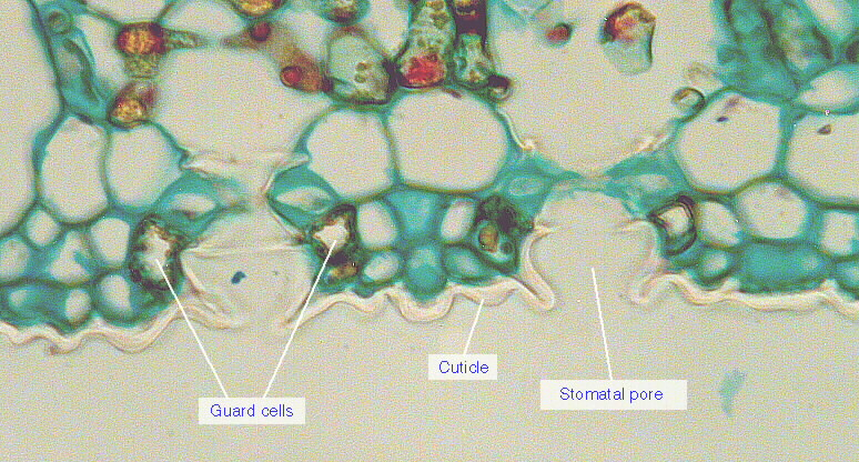 stomata distribution in a dicot leaf essay