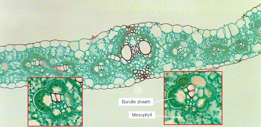 Corn Leaf Bundle Sheath Showing Kranz Anatomy